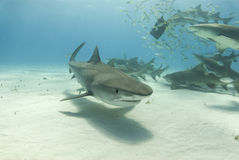Tubarão de tigre com limões de alimentação Imagem de Stock Royalty Free