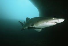 Tubarão de tigre da areia de África do Sul do Oceano Índico do banco de areia de Aliwal (taurus do Carcharias) na caverna subaquát Fotografia de Stock