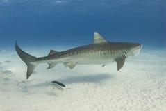 Tubarão de tigre gracioso fotografia de stock