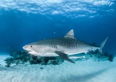 Tubarão de tigre no Bahamas fotos de stock royalty free