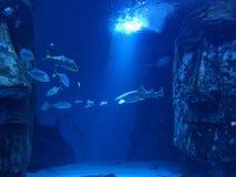 Tubarão de tigre subaquático fotografia de stock
