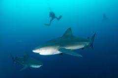 Tubarão de touro gigante Imagens de Stock Royalty Free