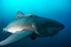 Tubarão de touro gigante Foto de Stock