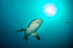 Tubarão de touro gigante Fotografia de Stock Royalty Free