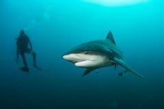 Tubarão de touro gigante imagem de stock