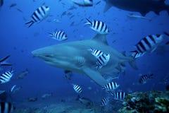 tubarão de touro, leucas do carcharhinus, lagoa de Beqa, Fiji foto de stock royalty free