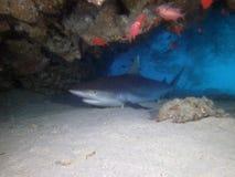 Tubarão de Whitetip Imagem de Stock