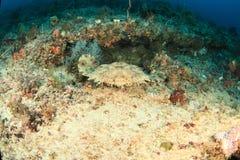 Tubarão de Wobbegong sob o coral foto de stock royalty free