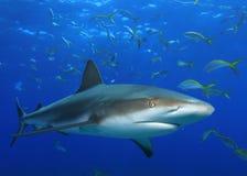 Tubarão do Cararibe do recife imagem de stock