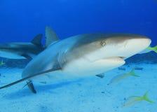 Tubarão do Cararibe do recife Imagens de Stock