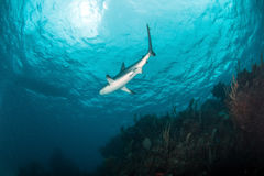 Tubarão do Cararibe do recife Fotografia de Stock Royalty Free