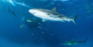 Tubarão do Cararibe do recife Foto de Stock Royalty Free