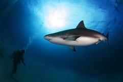 Tubarão do Cararibe do recife Imagens de Stock Royalty Free