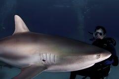 Tubarão do Cararibe do recife Fotografia de Stock