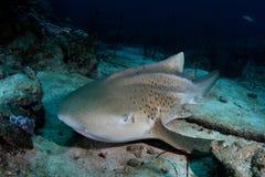 Tubarão do leopardo fotos de stock
