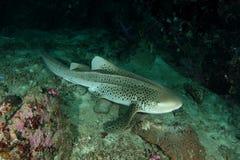 Tubarão do leopardo fotografia de stock