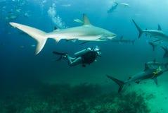 Tubarão do mergulhador e do recife Fotografia de Stock