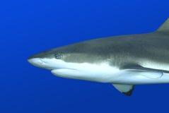 Tubarão do recife foto de stock