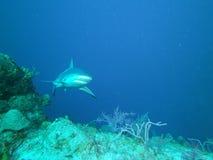 Tubarão do recife imagem de stock