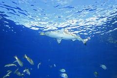 Tubarão do recife de Blacktip fotografia de stock