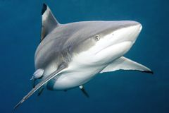 Tubarão do recife de Blacktip foto de stock