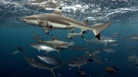 Tubarão do recife de Blacktip imagens de stock royalty free