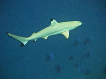 Tubarão do recife de Blacktip na água profunda Fotos de Stock