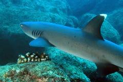 Tubarão do recife de Whitetip fotos de stock royalty free