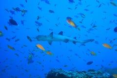 Tubarão do recife de Whitetip foto de stock