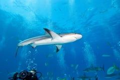 Tubarão do recife nas Caraíbas Fotografia de Stock