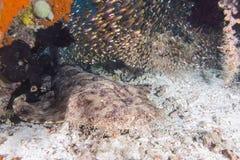 Tubarão do wobbegong do Thinline imagens de stock