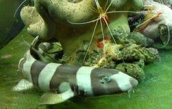 Tubarão e camarões Fotografia de Stock