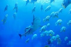 Tubarão e peixes imagens de stock