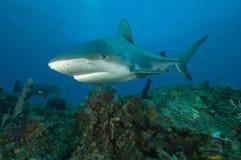 Tubarão em um recife Fotos de Stock Royalty Free