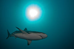 Tubarão, imagem subaquática Imagens de Stock