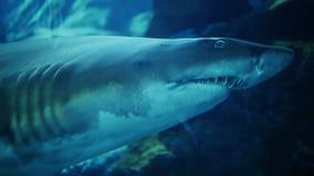 Tubarão na alameda subaquática de Dubai do aquário video estoque