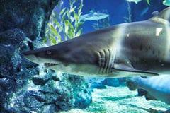 Tubarão no aquário da vida marinha em Banguecoque fotos de stock royalty free