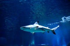 Tubarão no aquário da vida marinha em Banguecoque imagem de stock