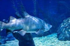 Tubarão no aquário da vida marinha em Banguecoque fotos de stock