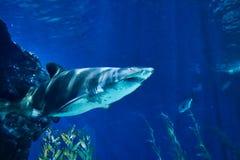 Tubarão no aquário da vida marinha em Banguecoque fotografia de stock
