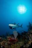 Tubarão no oceano Imagens de Stock