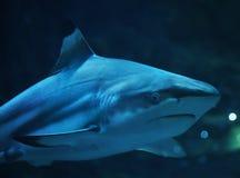 Tubarão no retrato da água azul fotografia de stock