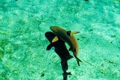 Tubarão novo Imagens de Stock Royalty Free