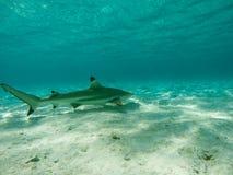 Tubarão preto da ponta Foto de Stock Royalty Free