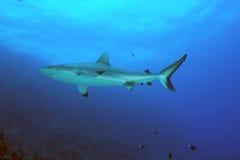 Tubarão preto do recife da ponta Fotografia de Stock