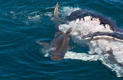 Tubarão que come a baleia fotos de stock