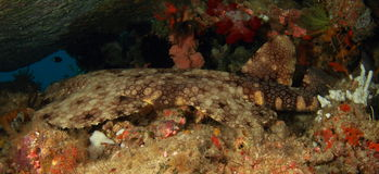 Tubarão que tem um descanso em uma caverna foto de stock