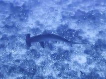 Tubarão Scalloped de Hamemrhead da opinião de ângulo alto sobre o recife Imagem de Stock
