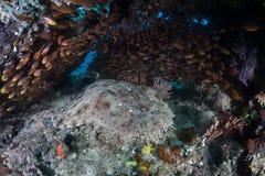 Tubarão Tasseled do wobbegong fotos de stock royalty free