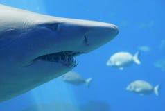 Tubarão toothy grande Fotos de Stock